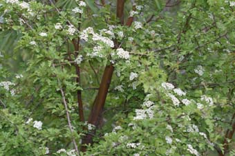 Εικόνες Φυτών... Crataegus_monogyna