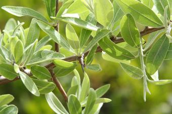 Εικόνες Φυτών... Pyrus_spinosa_fylla